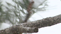P00205 Dark-eyed Junco in Snowstorm Stock Footage