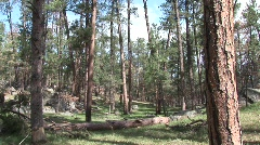 P00227 Old Growth Ponderosa Pine Forest Stock Footage
