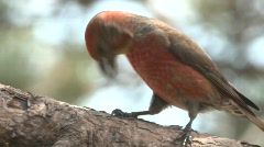 P00283 Red Crossbill Stock Footage