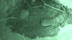 P00290 Tiger Salamander in Prairie Dog Burrow Infrared Stock Footage