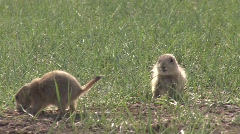 P00299 Black-tailed Prairie Dogs Playing Stock Footage