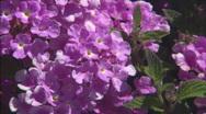 XCUStreptocarpusFlowers Stock Footage