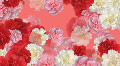 Carnation Flower 3 M1L HD HD Footage