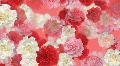 Carnation Flower 3 M2L HD HD Footage