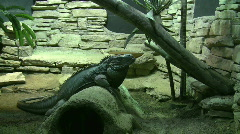 Iguana in Jungle Scene Stock Footage
