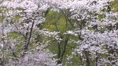 Cherry Trees Blossoming Stock Footage
