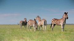 Zebras Stock Footage