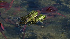 Time lapse of Frog croaking in pond Stock Footage