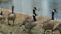 Canadian Geese in Oakland, CA Stock Footage