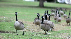 Canadian Geese in a row Stock Footage