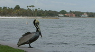 Pelican By Water 02 Stock Footage