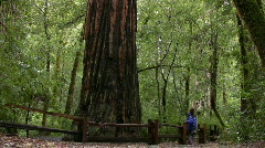 Giant Redwoods Rain Forest 02 Loop Stock Footage