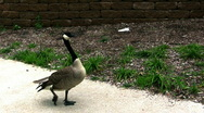 Db goose walking Stock Footage