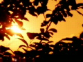Sunset Leaves 05 Loop Web Footage