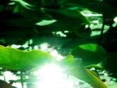 Lotus Leaves 01 Loop Stock Footage