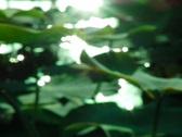 Lotus Leaves 09 Loop Stock Footage