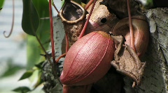 Nepenthes x Neufvilliana, Nepenthaceae Stock Footage
