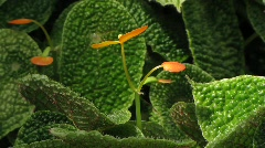 Crossandra Flava, Tropical W Africa, Acanthaceae Stock Footage