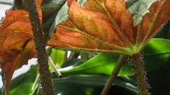 Begonia x ricinifolia, Begoniaceae Stock Footage