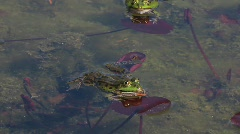 Frogs croaking in pond Stock Footage
