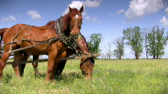 Two sorrel horses grazing Stock Footage