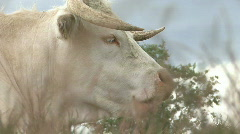 Cow's head very close Stock Footage