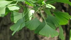 Gingko Biloba tree Stock Footage