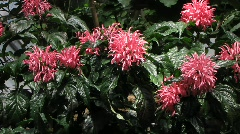 Justicia Carnea, Acanthaceae, Brazil Stock Footage
