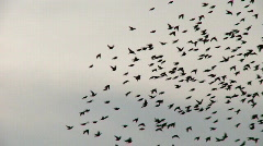 Many birds in flight Stock Footage