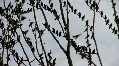 Stock Video Footage of many birds in tree 9
