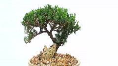 Bonsai tree seamless loop - HD  Stock Footage