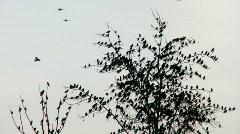 Many birds in tree 1 Stock Footage