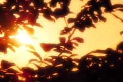 Sunset Leaves 06 Loop Stock Footage