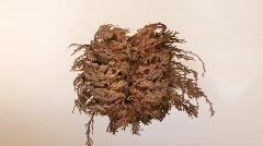 Time Lapse of a Plant (False Rose Of Jericho) Stock Footage