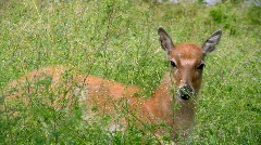 Young Father David's deer Stock Footage
