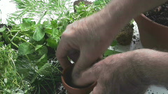 Dill home grown Stock Footage