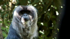 Macaque monkey Stock Footage
