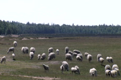 Sheep on the Ginkel Heath, 1944 dropzone near Ede and Arnhem - stock footage