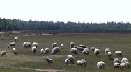 Stock Video Footage of Sheep on the Ginkel Heath, 1944 dropzone near Ede and Arnhem