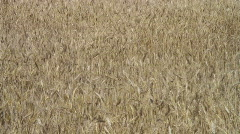 Close up Yellow grain ready for harvest growing in a farm field Stock Footage