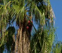 Gardener Trimming Palm Tree CU Stock Footage
