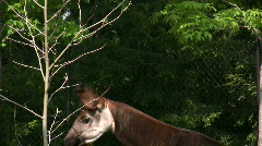 Okapi pulling leaves from Tree with Tongue Stock Footage