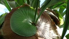 Platycerium Stemaria, Tropical Africa, Madagascar Stock Footage