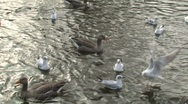 Ducks and Seagulls, birds on water Stock Footage