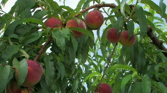 Ripe Peaches on tree ready to be picked Stock Footage