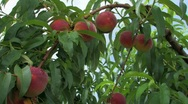 Stock Video Footage of Ripe Peaches on tree ready to be picked