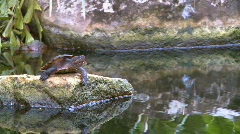 Turtle on a rock (3 of 3) Stock Footage