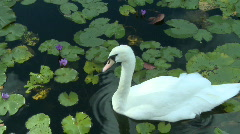 White Swan (2 of 3) Stock Footage