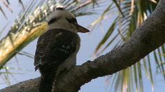 Kookaburra (1 of 3) - stock footage