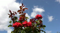 Red Irish rose 11 Stock Footage